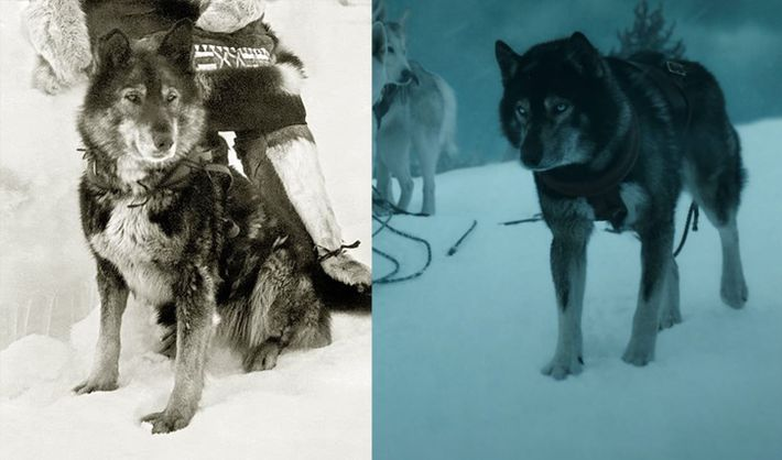 The real Togo (left) lives on in the bloodline of Seppala Siberian huskies – where owners commonly attempt ...