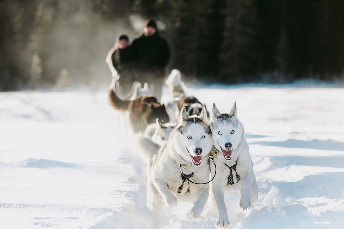Dog Sledding, Canada's oldest form of winter transport, will allow visitors to venture deep into the ...