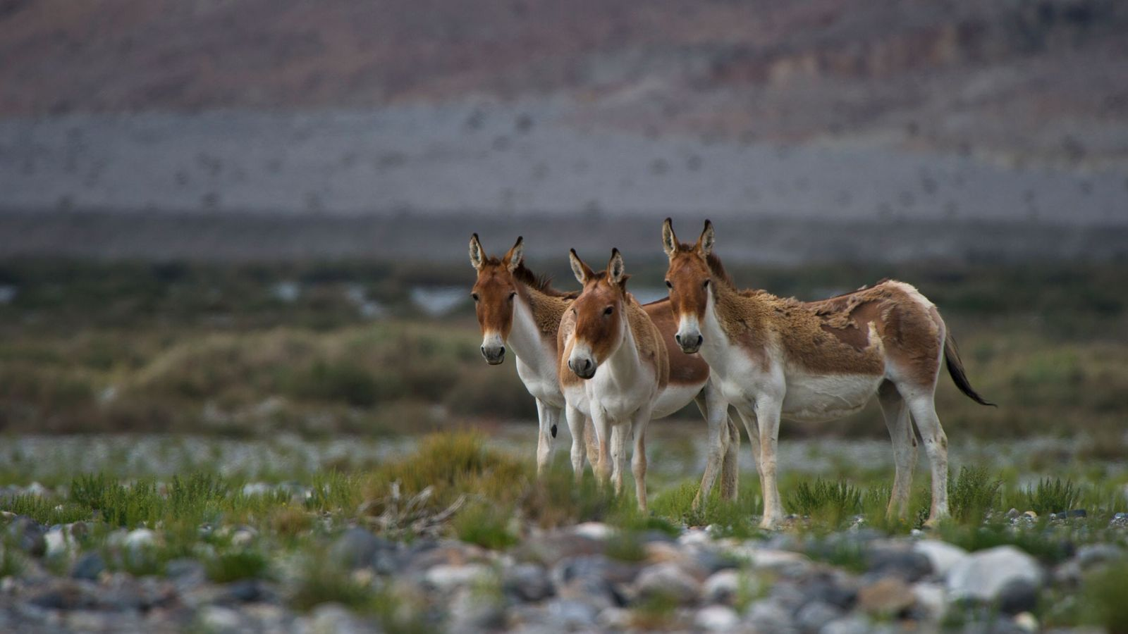 While donkeys, like these in China's Taklamakan Desert, are not generally known for their speed and ...