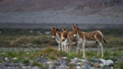 Archaeologists discover first evidence for polo—on donkeys
