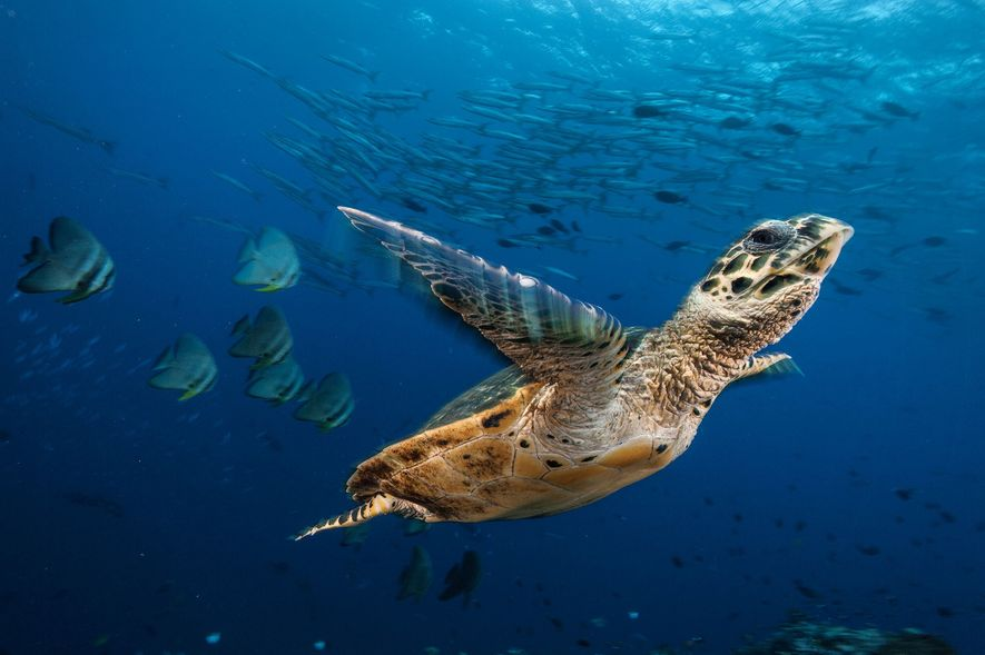 A hawksbill turtle soars through a sea of batfish and barracudas in Kimbe Bay, Papua New ...