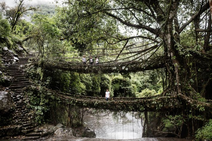 A double-decker root bridge in Cheerapunji is one of the main attractions in Meghalaya. The growing ...