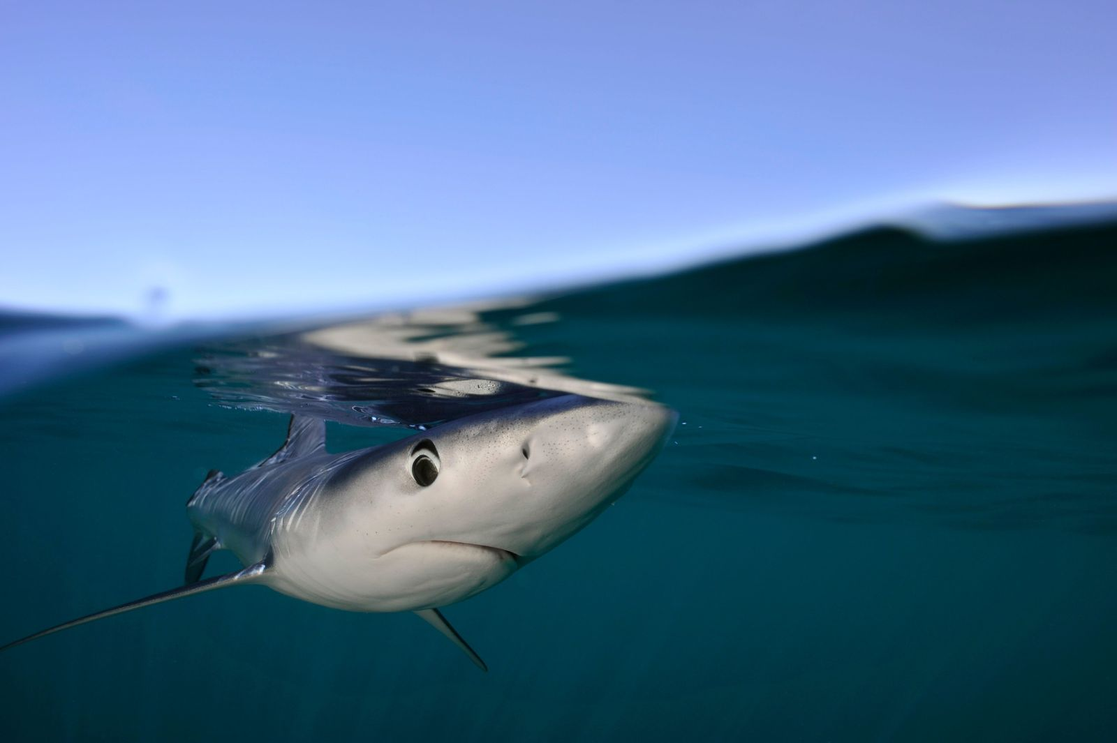 Instantly recognisable due to its long snout and distinctive visage, the blue shark is an elegant seasonal ...