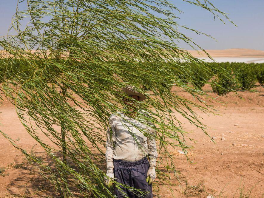 Reza Manafzadeh works on a fruit-tree farm at the edge of Iran's Lake Urmia, a salt ...