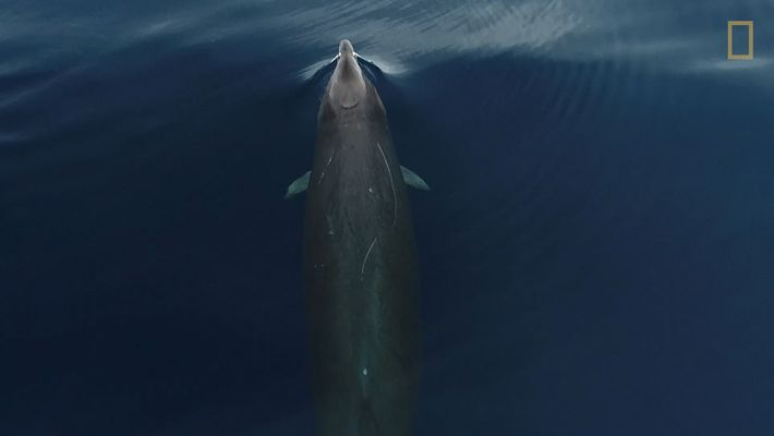 Exclusive: This is What Gervais' Beaked Whales Look Like From Above