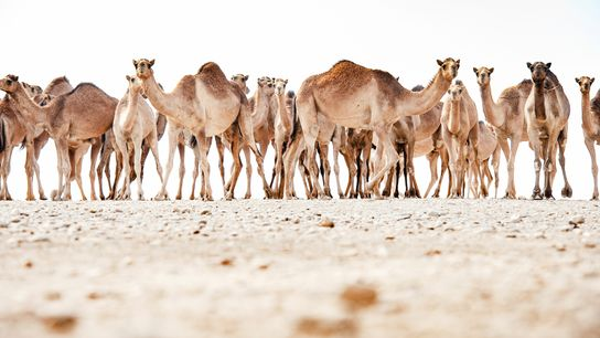 The Arabian camel, known as the Omani camel within the Sultanate of Oman, is a single-humped ...