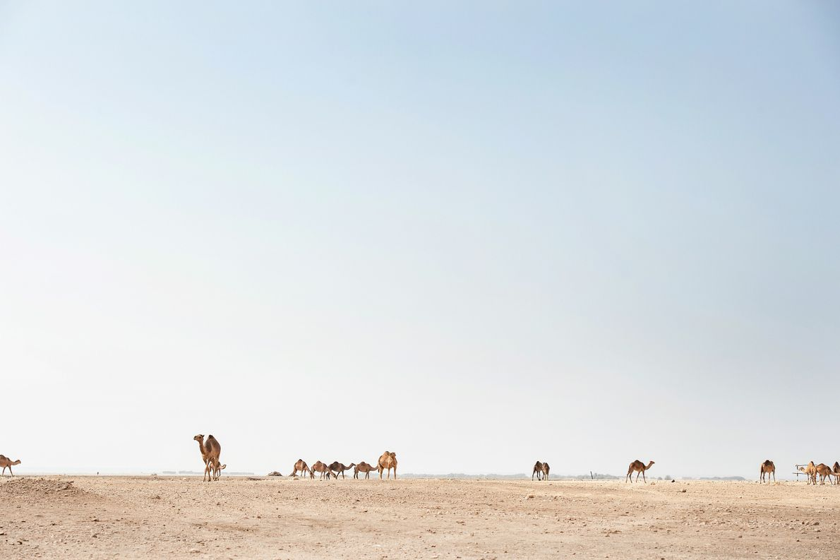 Alongside their herdsmen, camels roam the harsh, rocky terrain in search of their next watering hole. ...