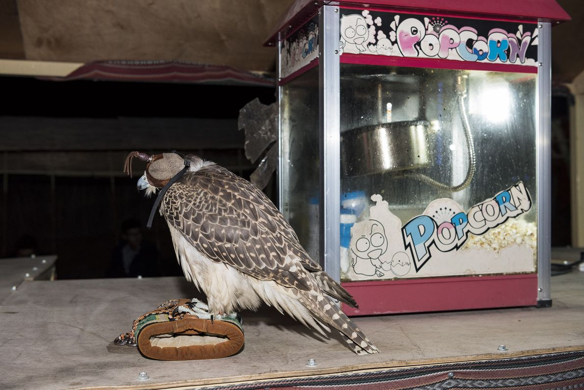 A falcon and popcorn machine rest on a countertop in a tourist desert camp after a ...