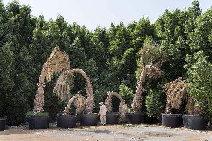 A gardener waters wilting palm trees at a car park.