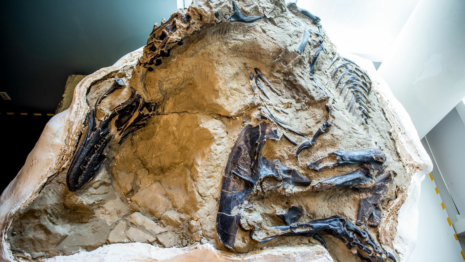 In 2006, commercial fossil hunters found this exquisite, nearly complete tyrannosaur alongside the bones of a ...