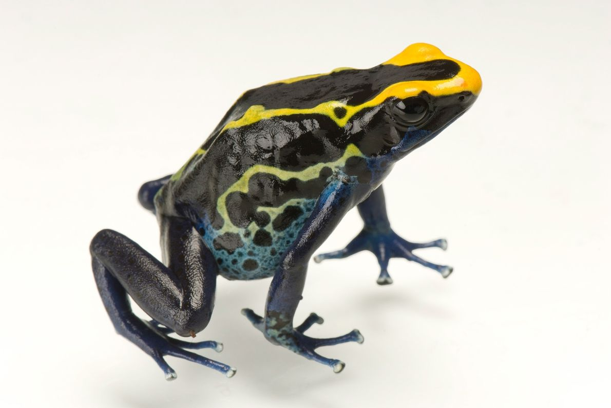 Dyeing poison frogs