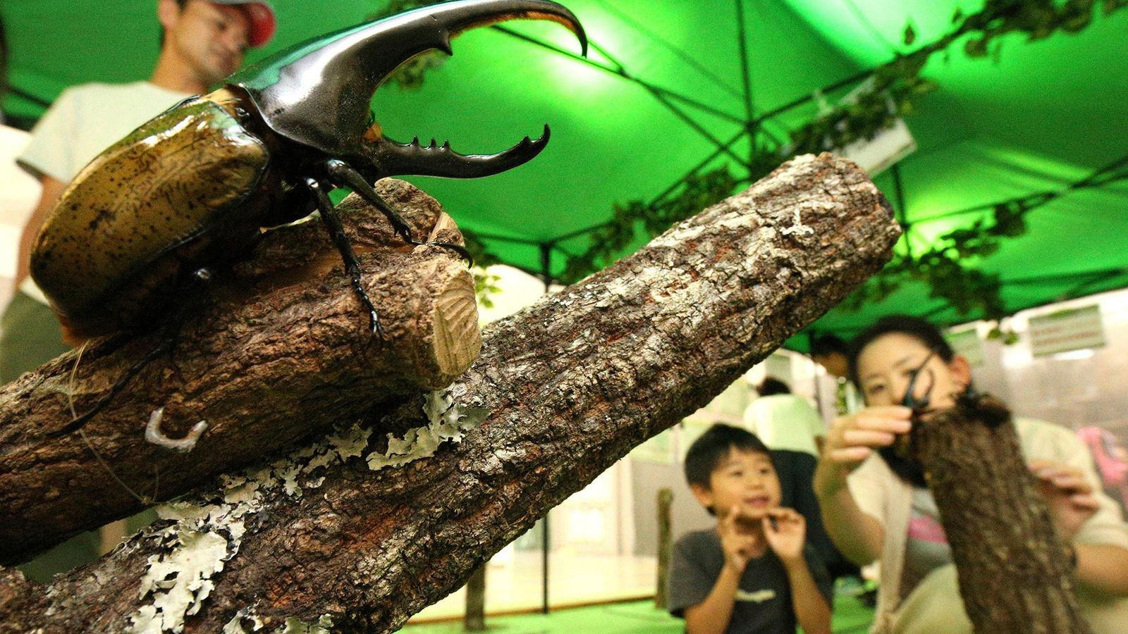 Hercules beetles, like this one in an insect exhibition last year at Japan's Fukuoka Science Museum, ...