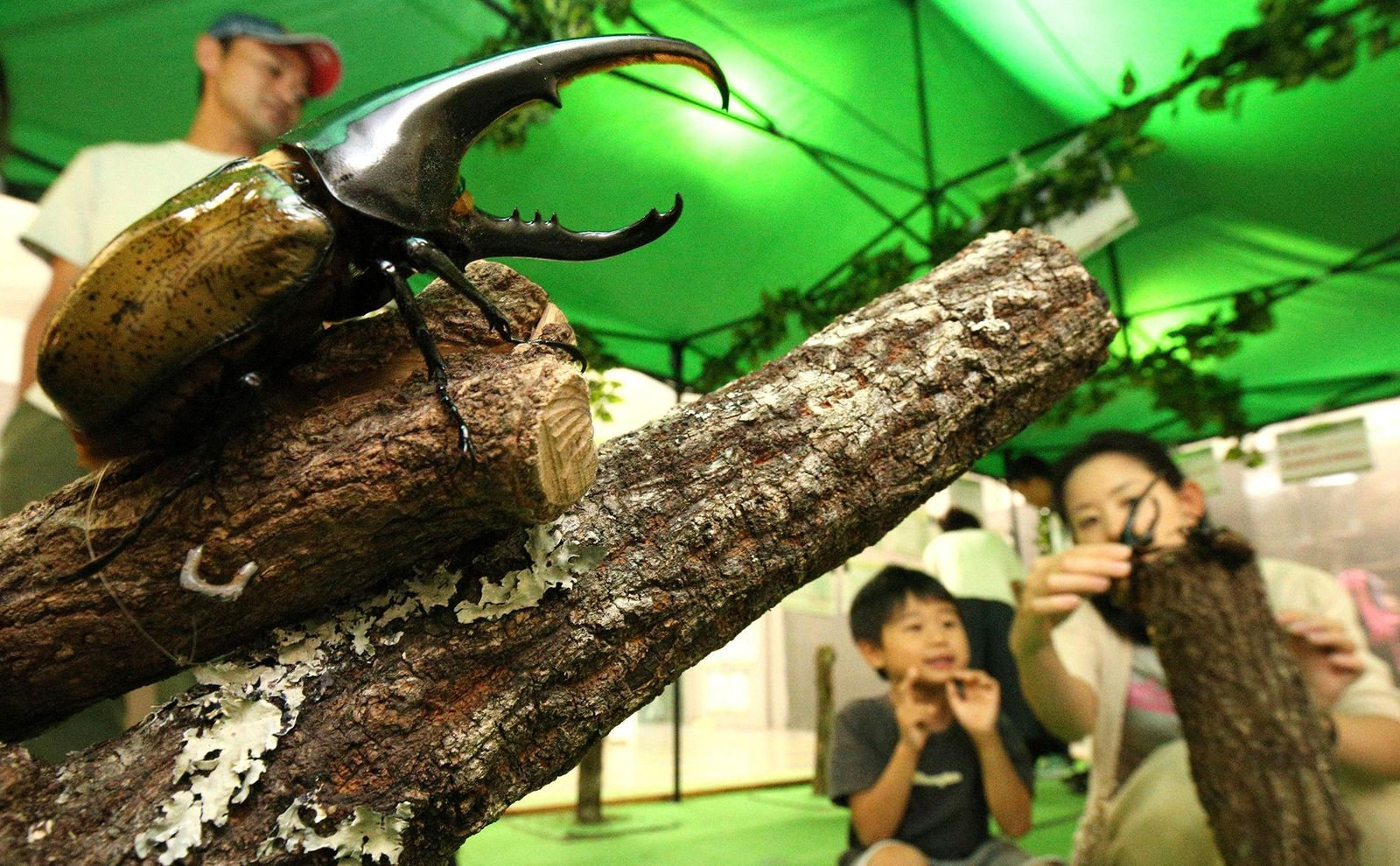Why Rare Beetles Are Being Smuggled To Japan At An Alarming Rate National Geographic