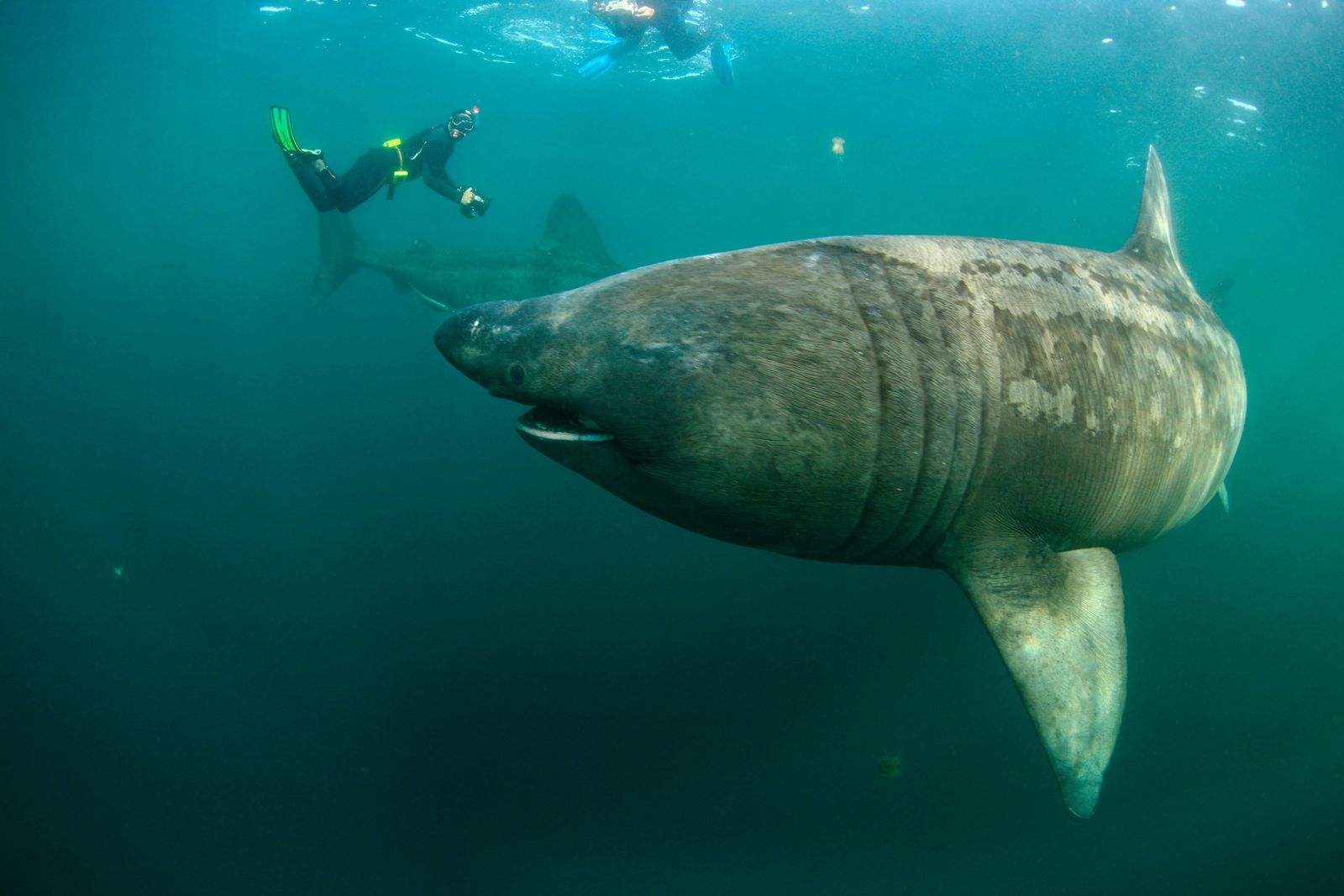 Divers observe two basking sharks off the coast of Mull, Scotland. Usually portrayed with their huge ...