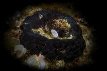 A set of curious fossils may be ancient sponges—relatives of the great bathing sponge shown here—which ...