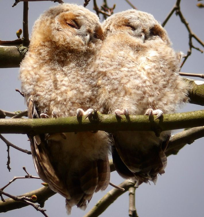 This spring shot captures young owls, called owlets.