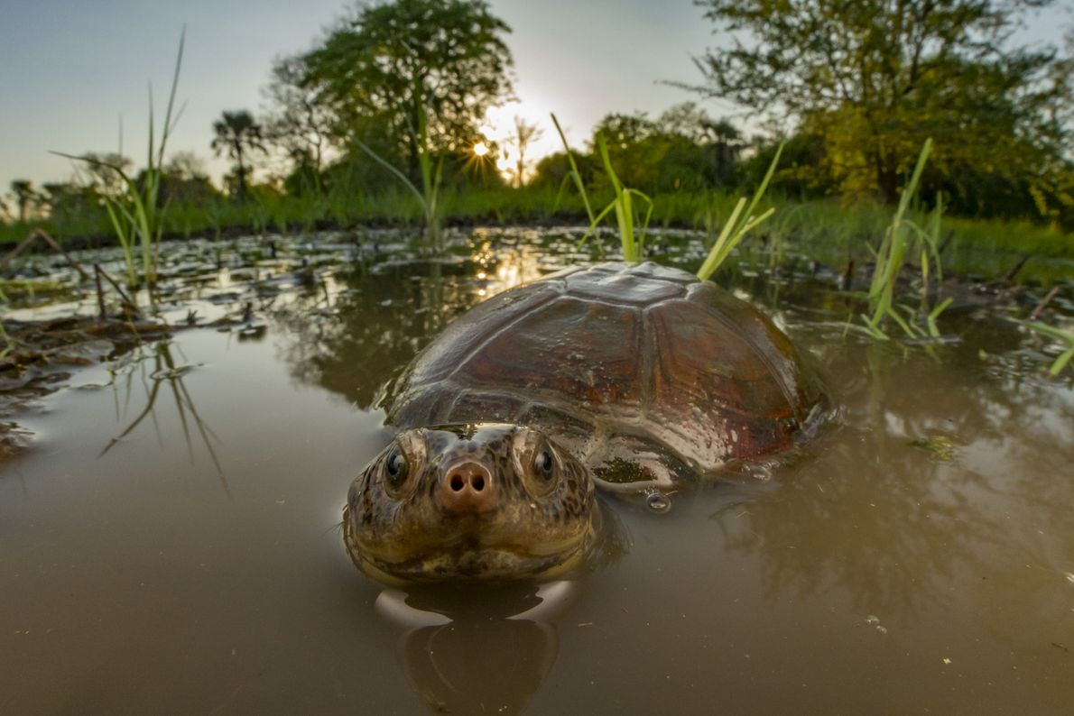 An East African black mud turtle (Pelusios subniger) peeks out of a seasonal pond. The omnivorous ...