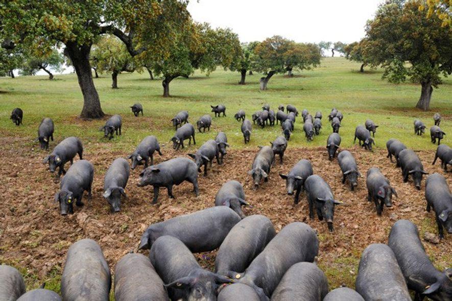 Pigs in Alentejo