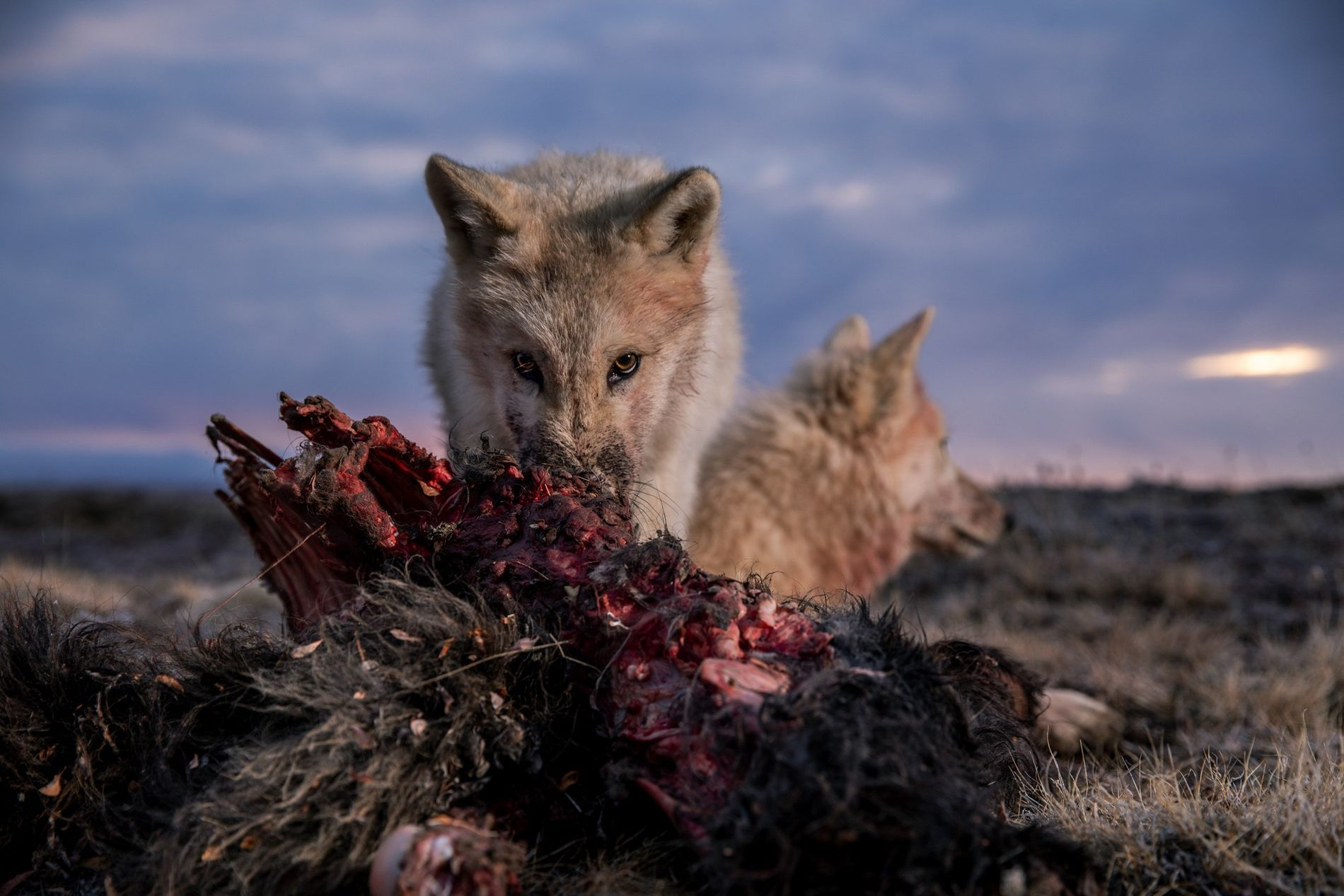 A pup takes his turn at a muskox carcass. The wolves have few competitors on Ellesmere, ...