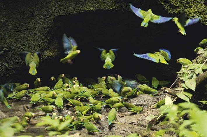Cobalt-winged parakeets, Napo Wildlife Center, Yasuni National Park. Image: Getty