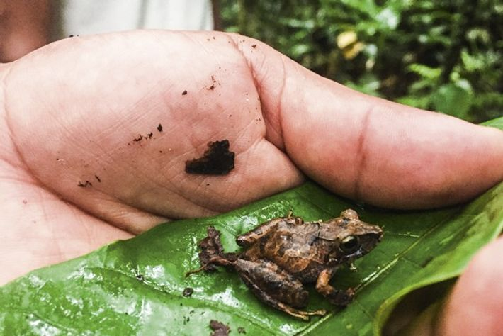 Rainforest frog. Image: Adrian Phillips