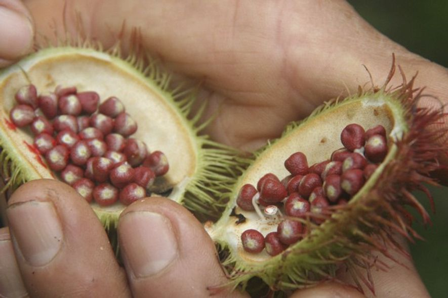 Opening the achiote fruit, used to make face paint. Image: Adrian Phillips