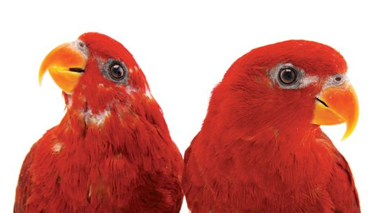 Red lories (Eos bornea) at the Indianapolis Zoo. (Photographed for National Geographic's Photo Ark project