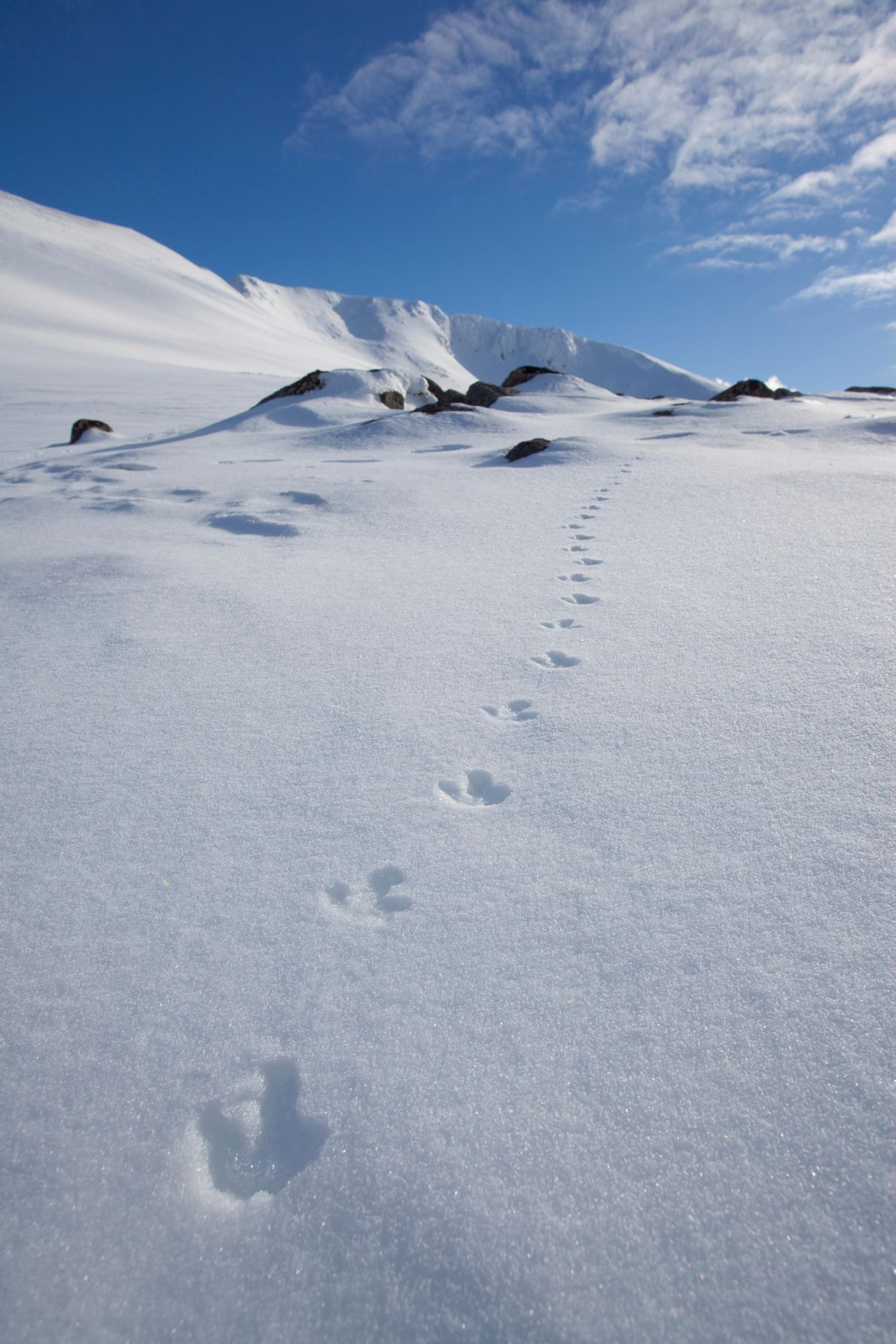 Ptarmigan tracks in the Cairngorm mountains. The rock ptarmigan is brown in winter, but changes to ...