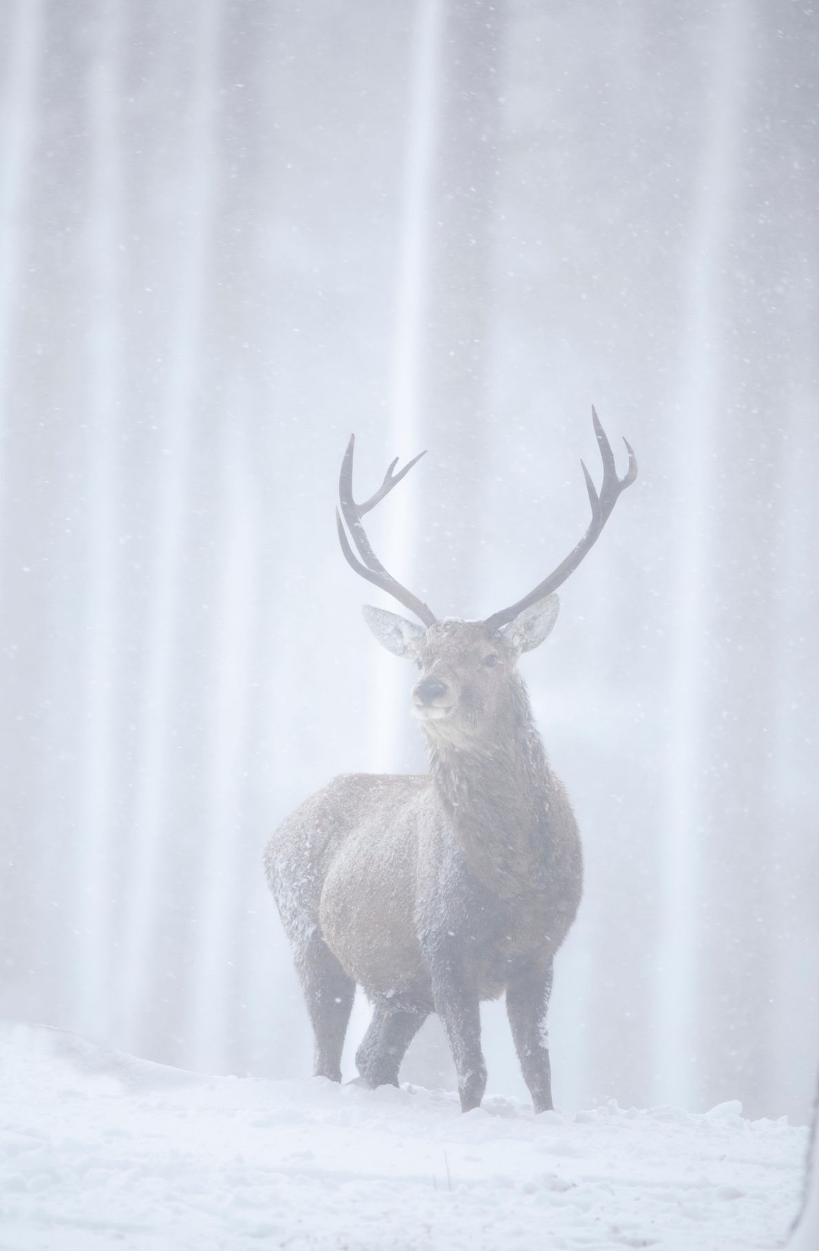 A glimpse of a red deer stag through a blizzard on the Alvie Estate, Cairngorms National ...