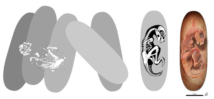 Illustrations show how the Beibeilong embryo looked inside the egg.