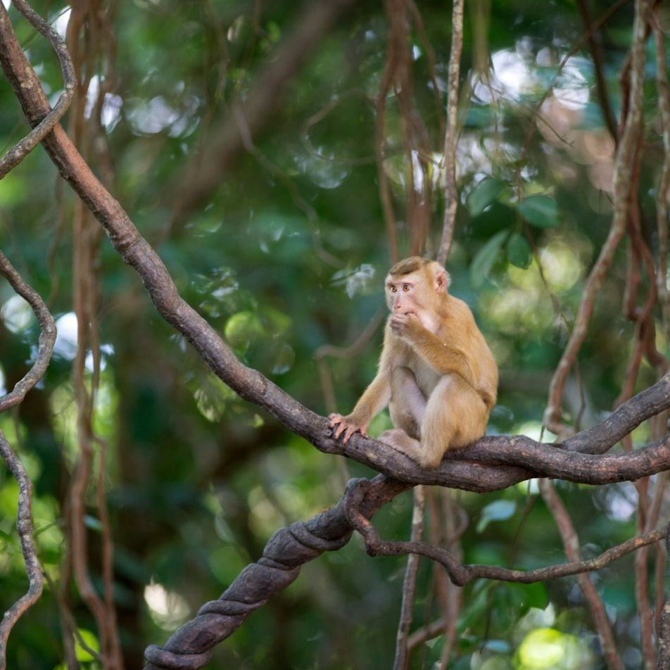 Monkeys still forced to pick coconuts in Thailand despite controversy