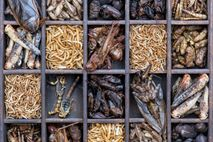 A collection of edible bugs, including crickets, grasshoppers, buffalo worms, beetles, scorpions, and locusts. All are ...