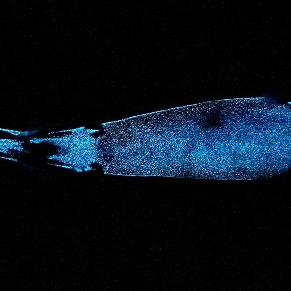 This deep-sea shark is one of the world's largest glowing animals