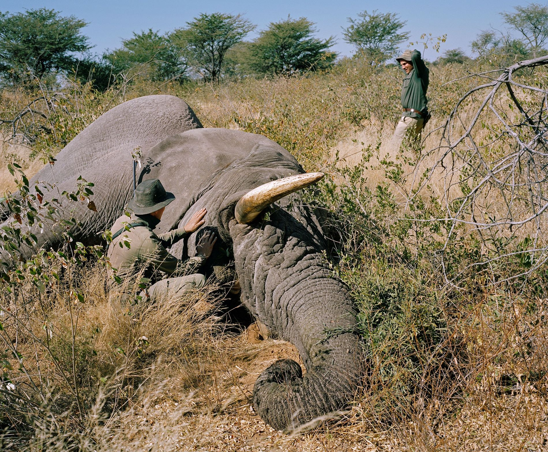 A German hunter kills an old bull elephant in Namibia. There is a long-running debate as to whether and how trophy hunting benefits conservation.