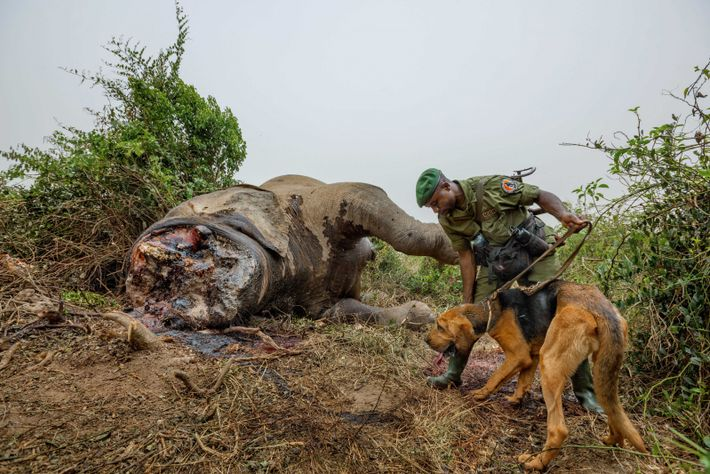 With the help of a bloodhound, a ranger tries to track the poachers who killed this ...