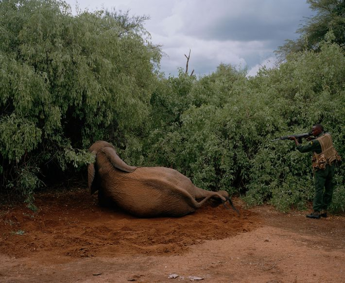 A Kenyan Wildlife Service officer puts down a mortally wounded elephant that was shot but managed ...