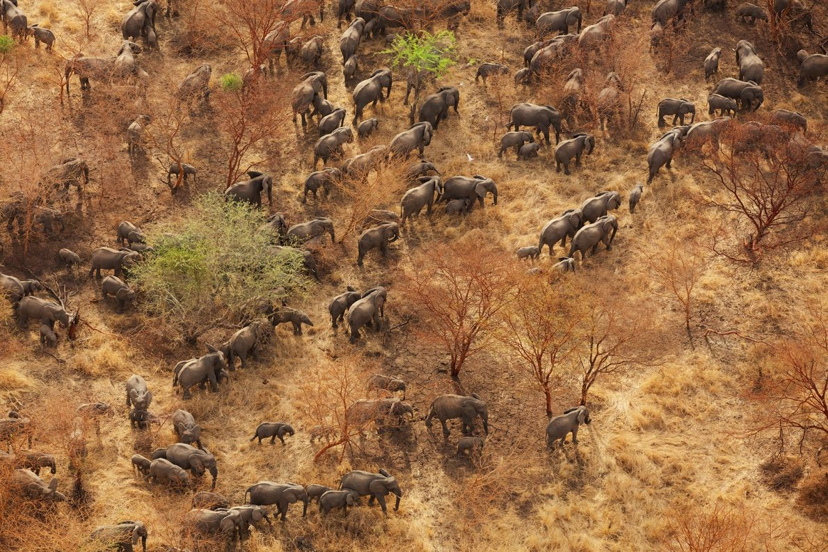 Zakouma National Park, a region of grasses and acacia in southeastern Chad, lost more than 90 ...