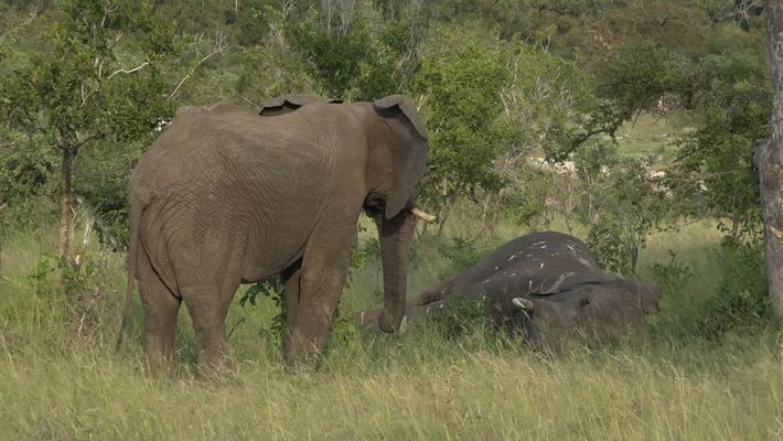 Do Elephants Grieve? New Video Suggests They Do