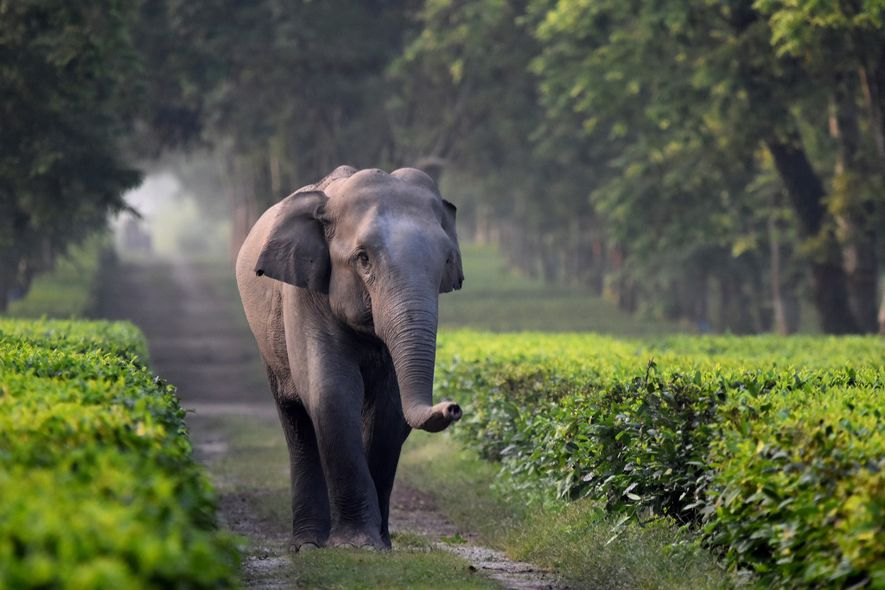 Elephants are falling into trenches on Indian tea plantations
