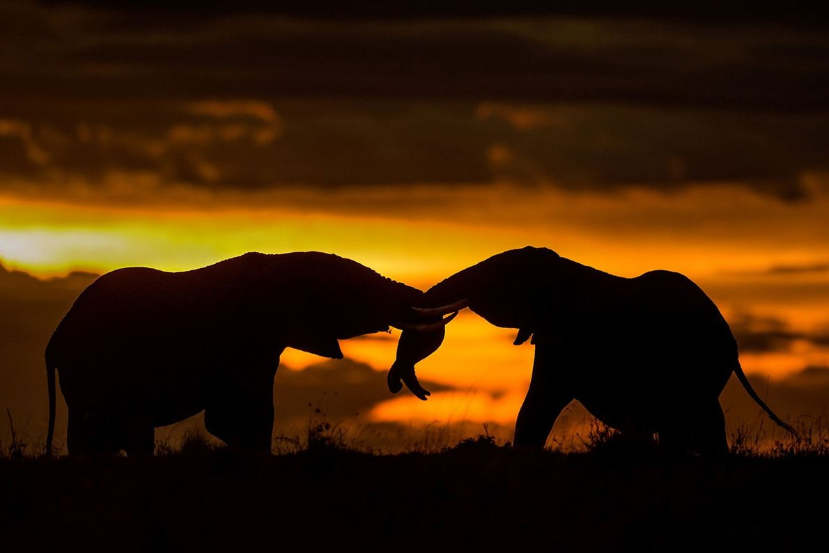 """""""Young elephant bulls generally get into friendly tussle early in their life, which helps them determine ..."""
