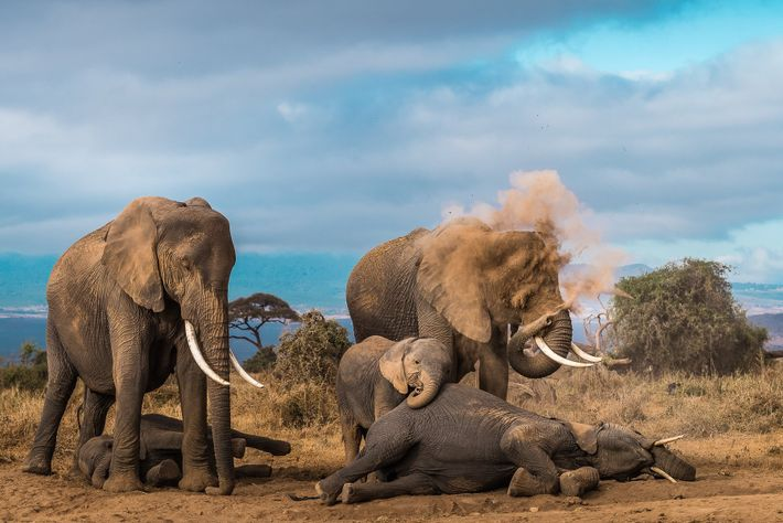 An elephant herd takes some respite from the scorching heat and dry winds. A dust bath ...