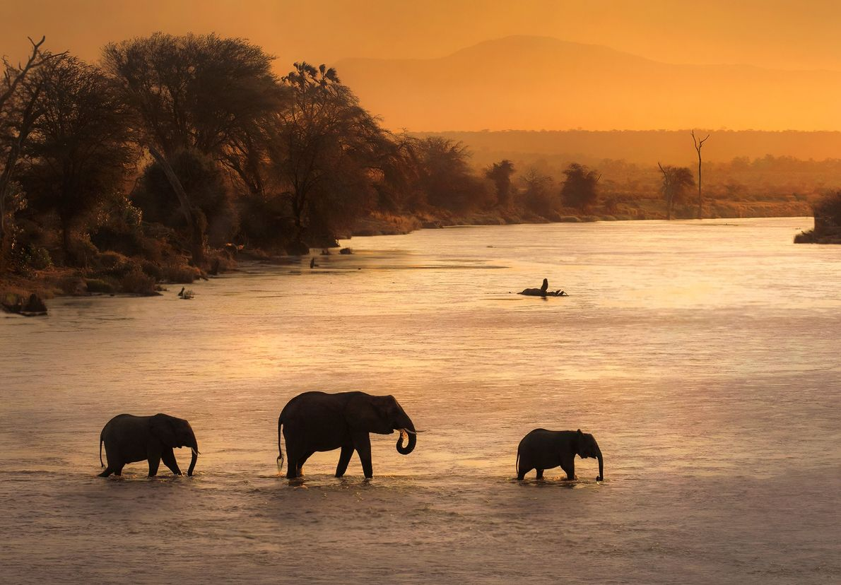 A group of elephants cross peacefully the mighty Ewaso Ngiro river in Samburu N.R. (Kenya) just ...
