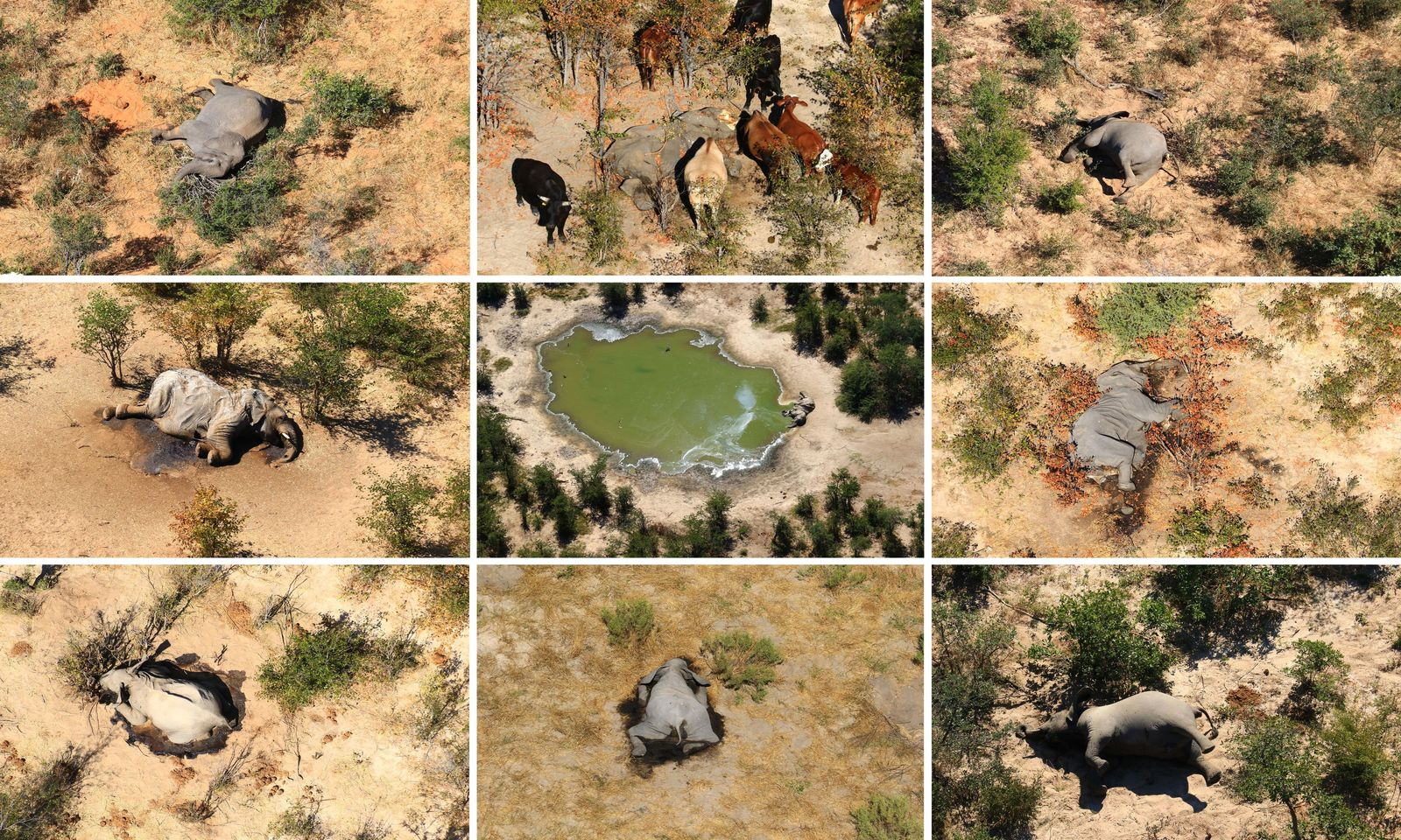 Aerial images over Botswana show the bodies of African elephants of all ages struck down by ...