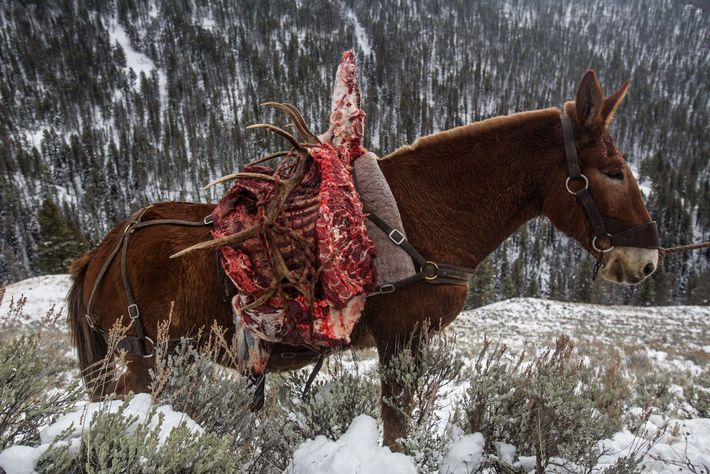 A harvested bull elk and its prized antlers are transported the old-fashioned way—by mule. More than ...