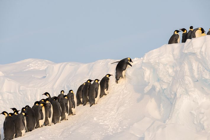 Penguins wait in line to make their way up the sea ice to the more stable ...
