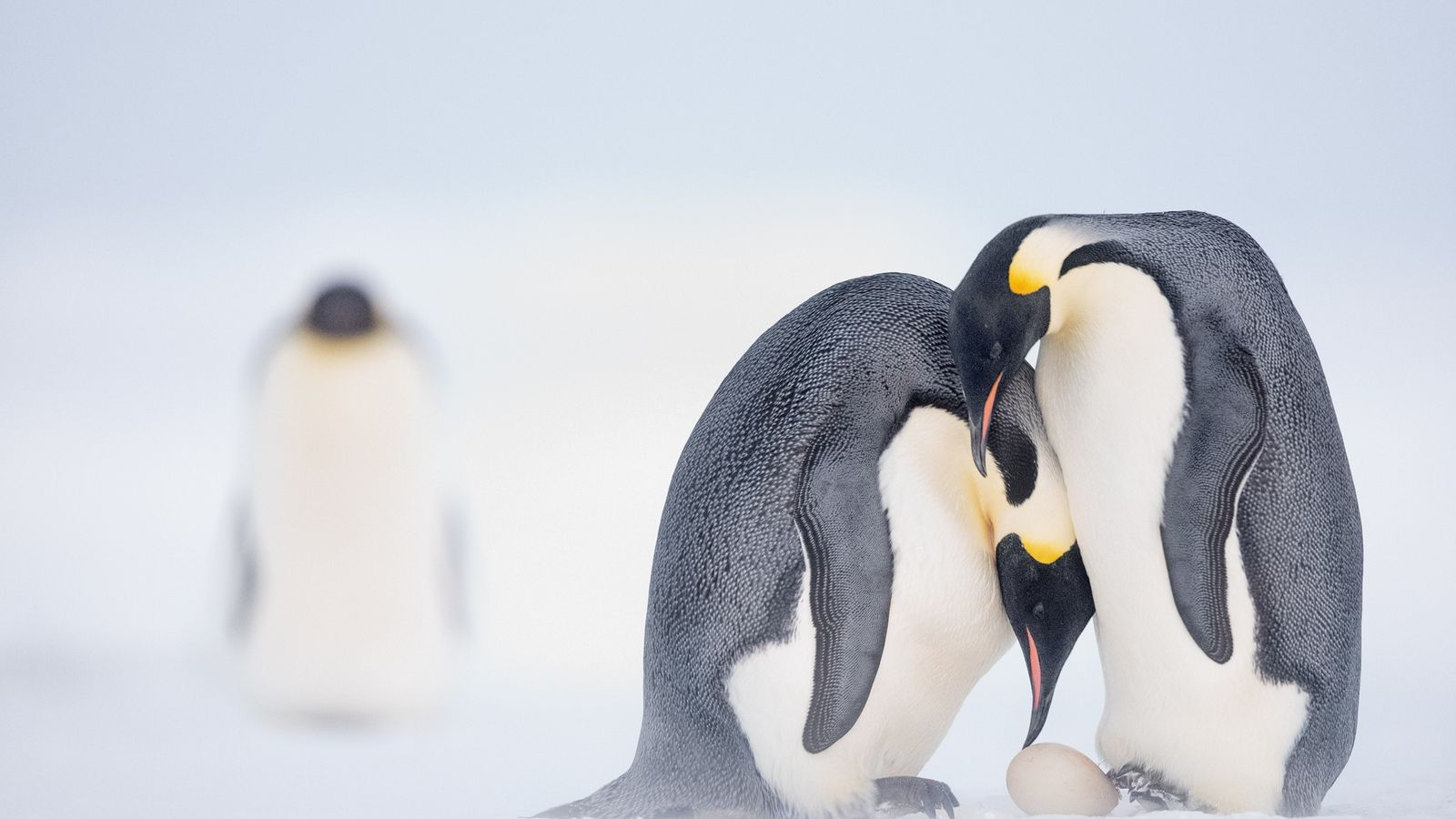 As ice melts, emperor penguins march toward extinction