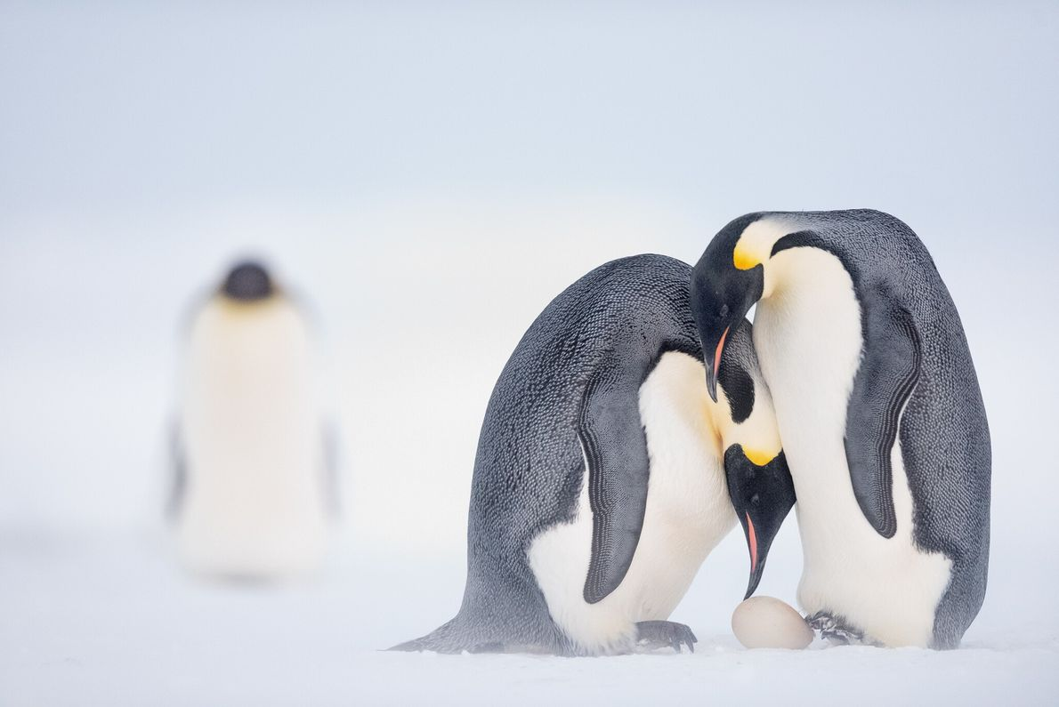 Before she leaves to hunt at sea for two months, a female emperor penguin assists her ...