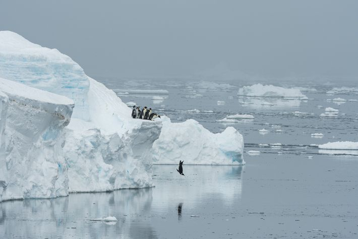 After weeks of waiting, a penguin leaps off an ice cliff into the sea. The dive ...