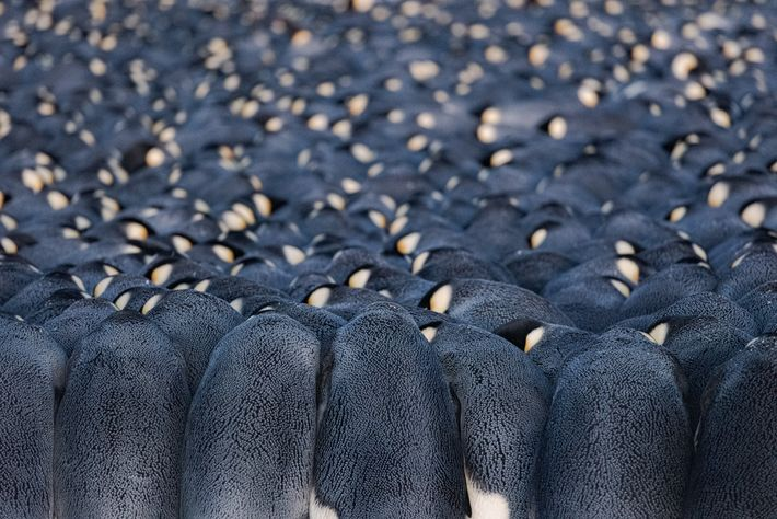 Male emperor penguins at the Atka Bay colony, each with an egg balanced on his feet, ...