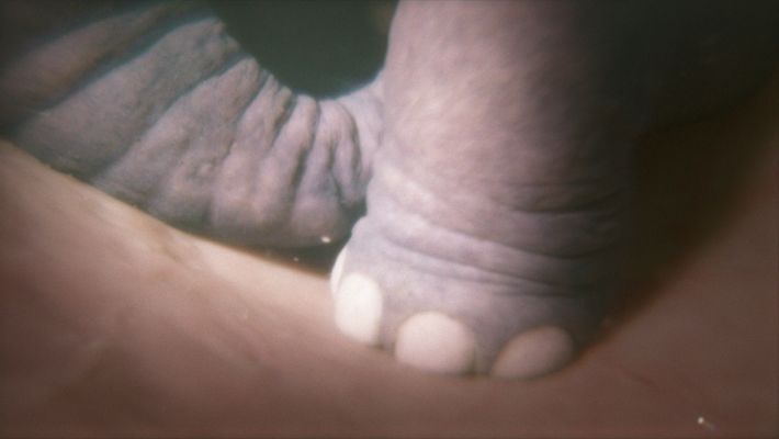 """The foot of an unborn elephant is shown in a simulation created for """"Growing Up Animal."""""""